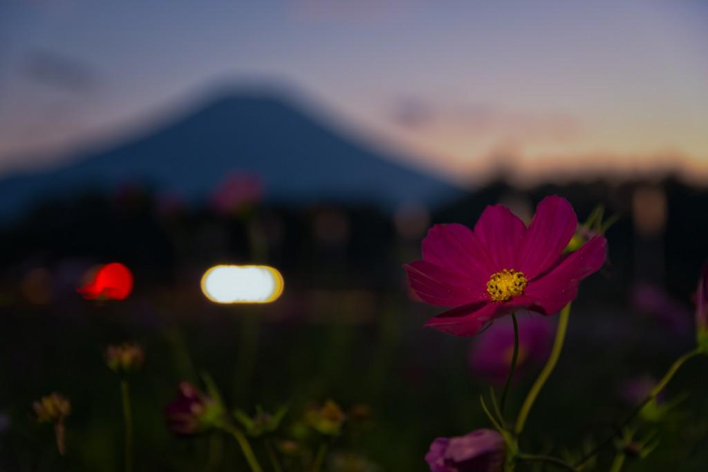 Yuga Kurita Mount Fuji Cosmos Hananomiyako_9E48894