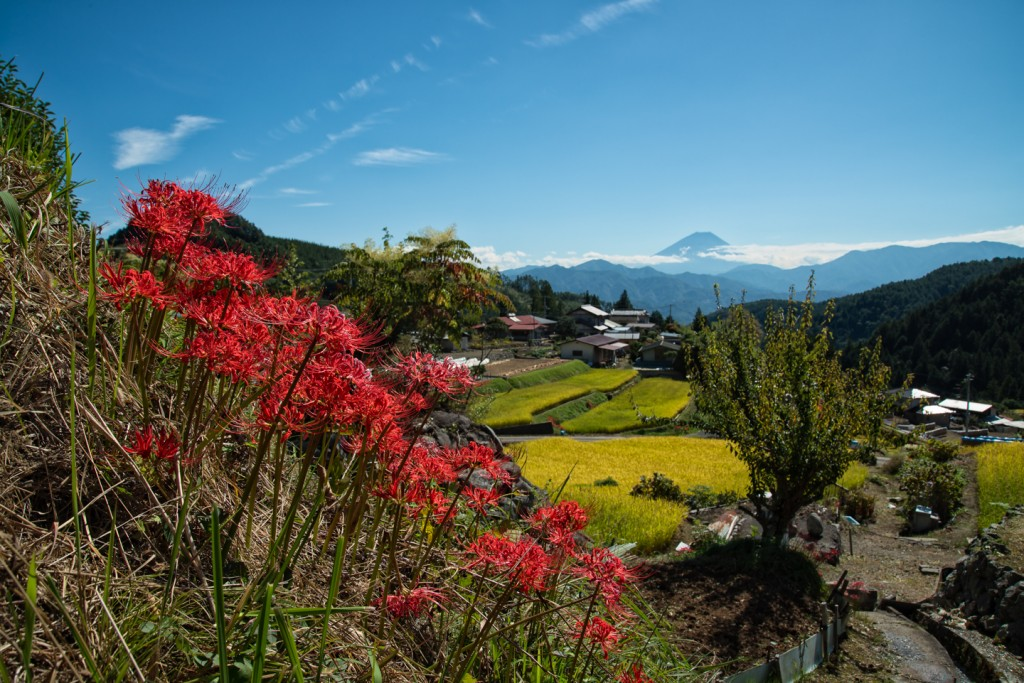 Yuga Kurita Mount Fuji Terraced Rice Fields Lycoris radiata_9E49437